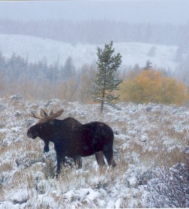 Moose sighting in Teton National Park