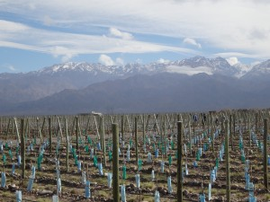 The Andes Mountains provide a backdrop to Mendoza's winter vineyards.